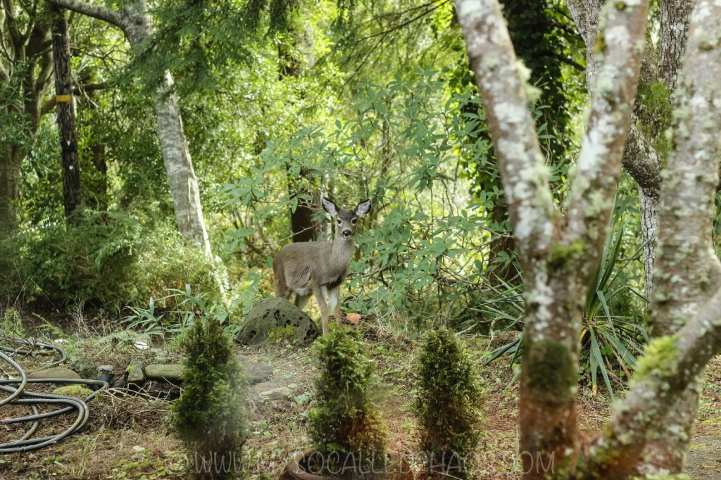 Deer in Coos Bay