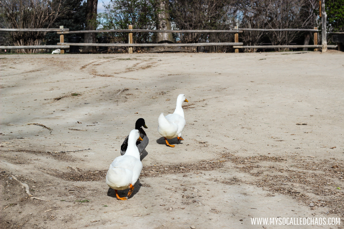 Ducks at Wheeler Historic Farm in Salt Lake City, UT