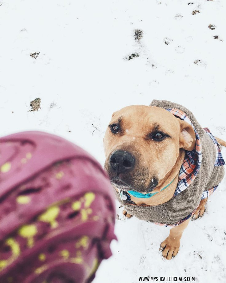 Handsome Bub the Rescue Pittie Snow Day