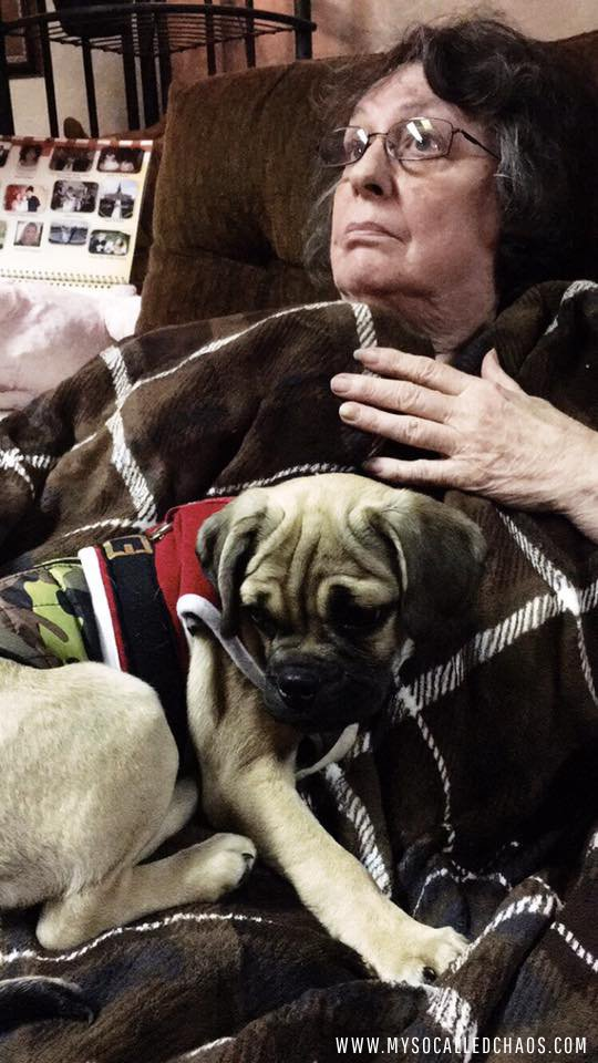 Neeko the baby puggle making himself comfortable on my grandma's lap.