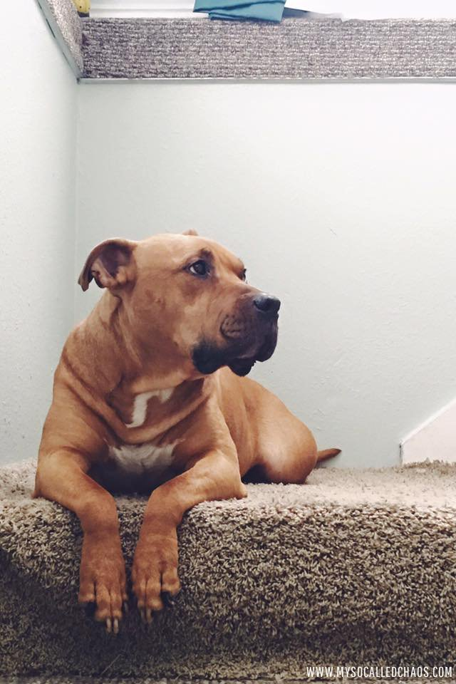 Handsome Bub the Rescue Pitbull