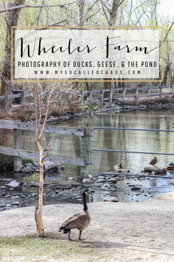 Wheeler Farm Photography - Ducks, Geese, & the Pond