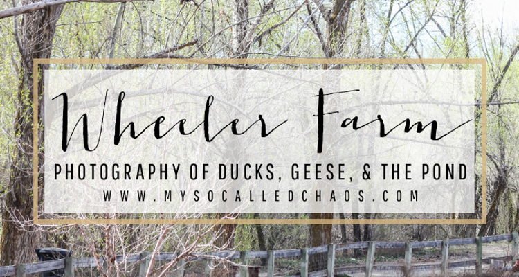 Wheeler Farm Photography – Ducks, Geese, & the Pond