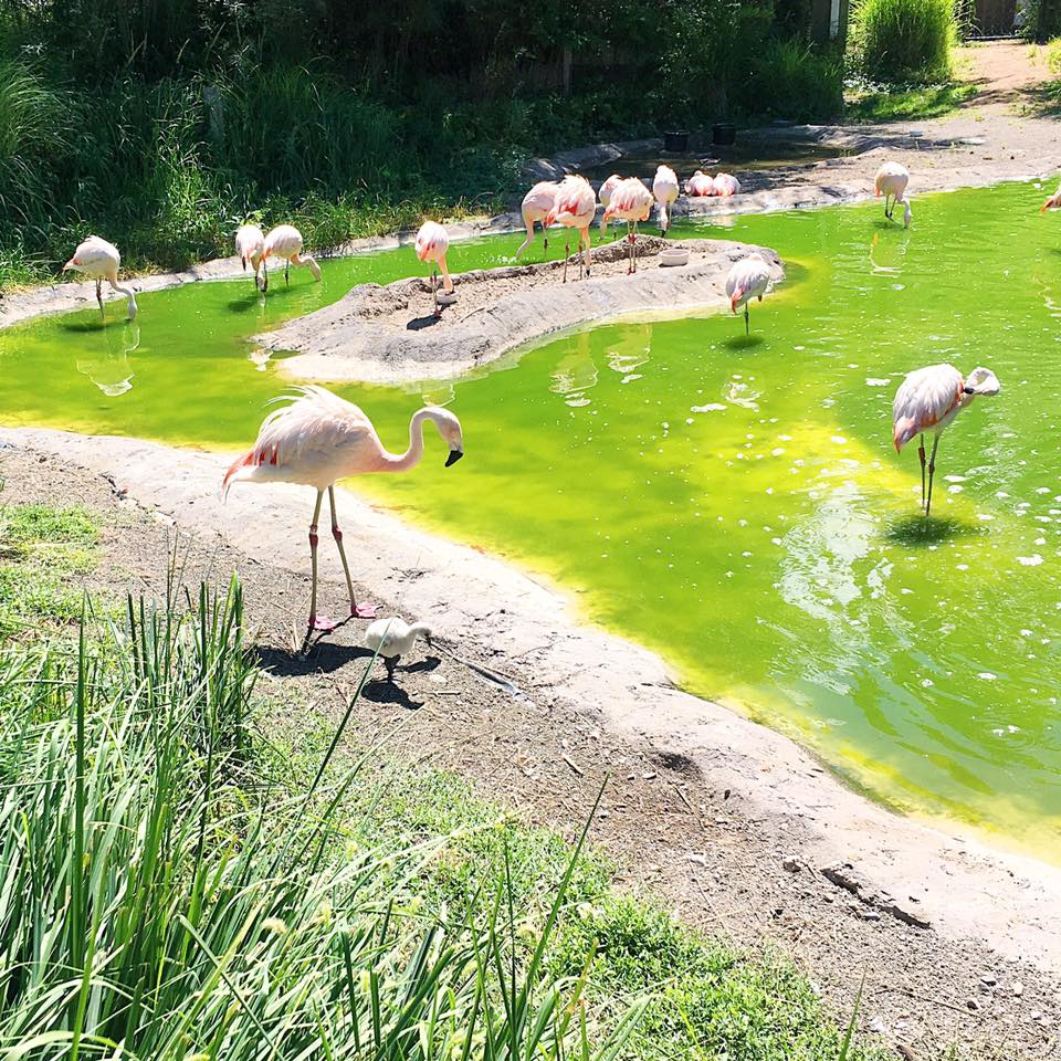 Flamingos at Tracy Aviary