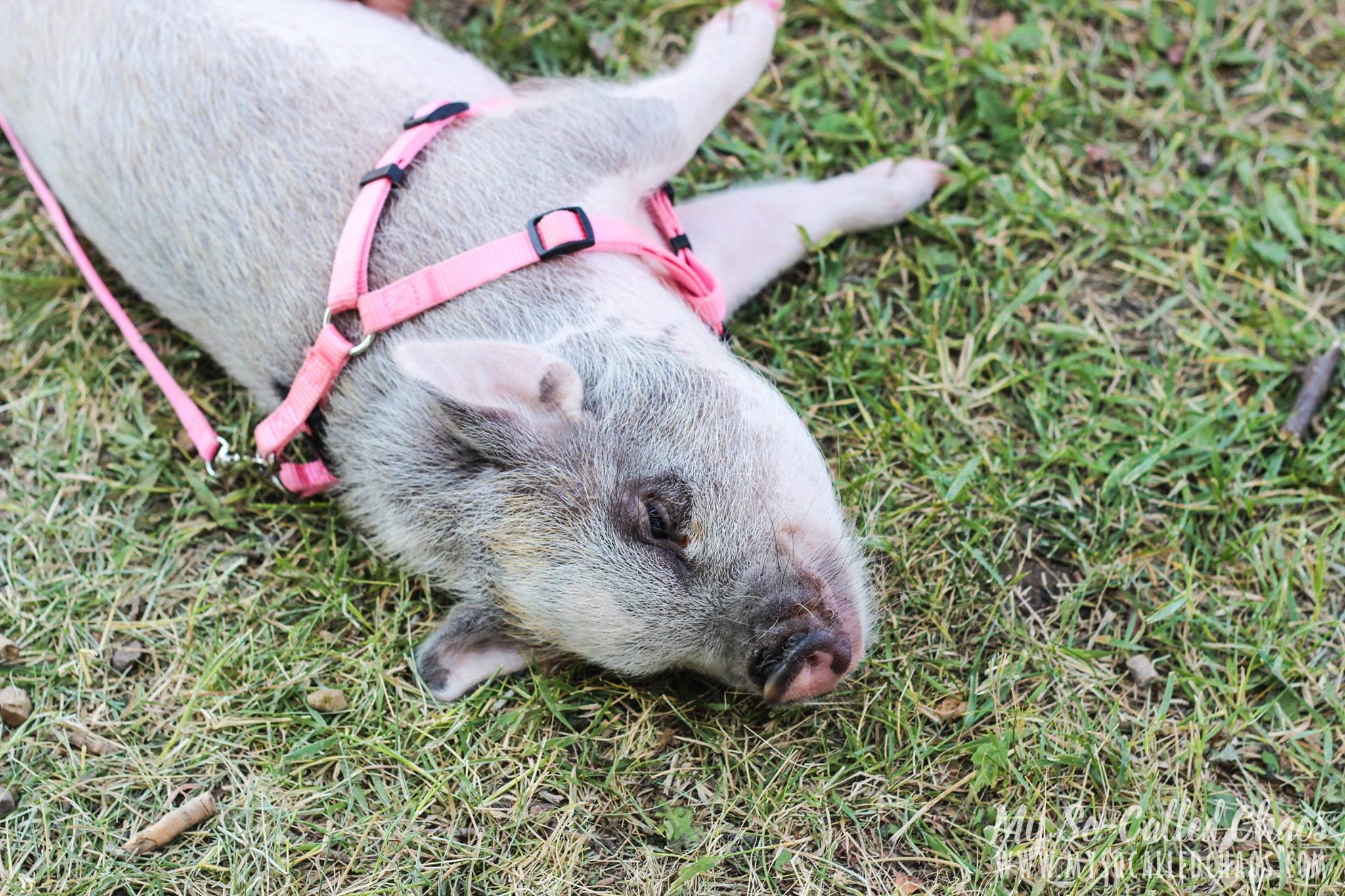 Pig at Fort Bridger Rendezvous